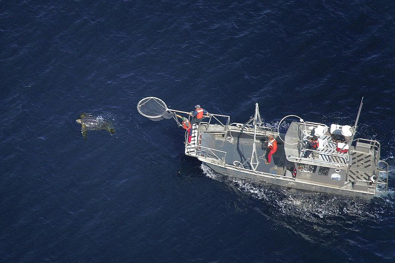 In this aerial photo, scientists in a research boat pursue a Pacific leatherb...