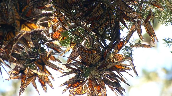 A butterfly cluster.