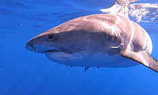 Learn surprising facts about the sharks that ca...