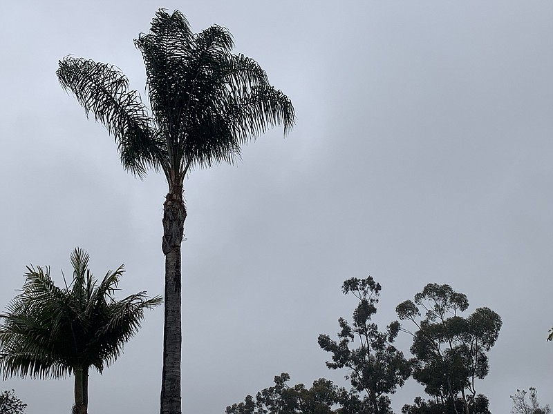 Palm trees sway in the wind on a cloudy day in the San Carlos neighborhood of...