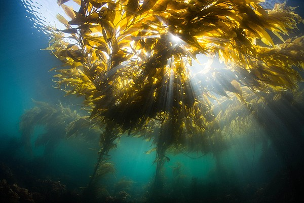 Kelp forests, in this undated photo, are crucial to Monte...