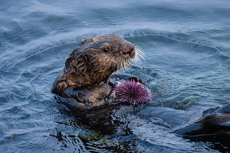 A sea otter snacks on a purple sea urchin in this undated photo.