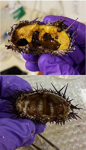The difference between a healthy urchin that's nutritious...