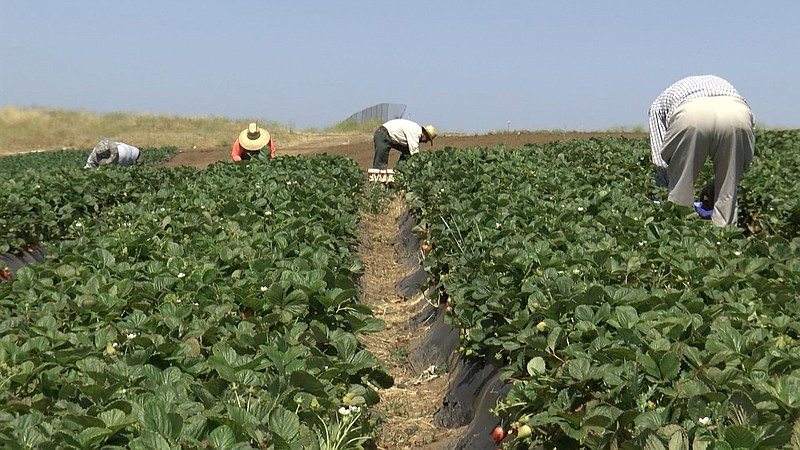 Farmworkers at the Yasukochi Family Farms in Fallbrook pick fruits and vegeta...