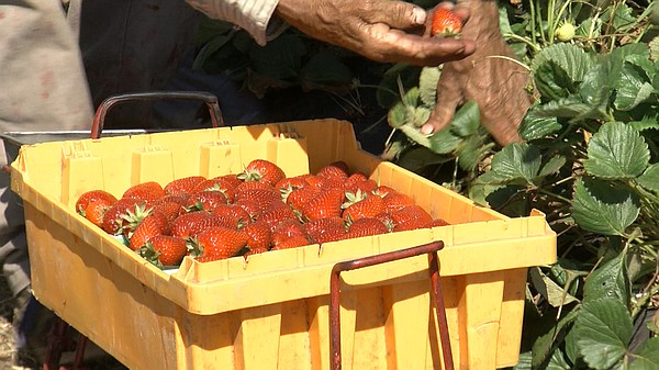Farm worker picking strawberries in Fallbrook for the Yas...