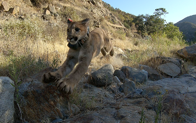 A young mountain lion is released back into the wild in Orange County, June 2...