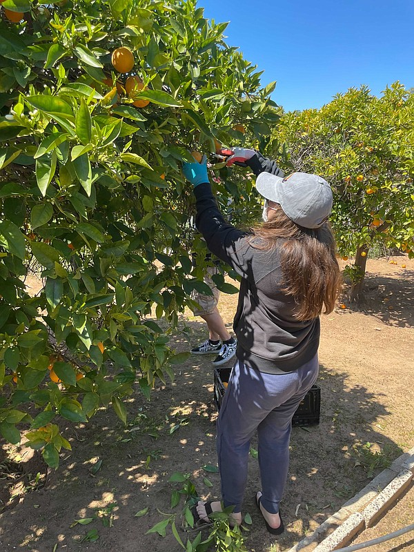 An undated photo of Paige Cook cutting down fruit.