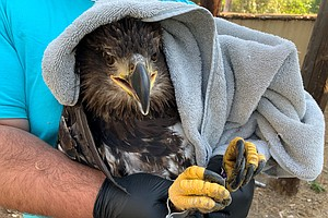 Photo for San Diego Humane Society Releases Injured Bald Eagle After Month Of Rehab