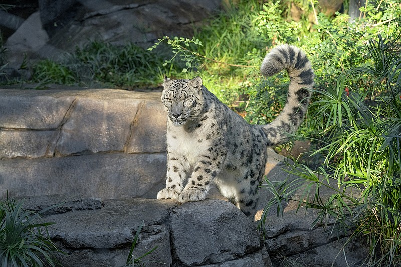 A male snow leopard rests its front paws upon a rock, tail high in the air, a...