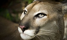 Pumas (Puma concolor) are the widest ranging ma...