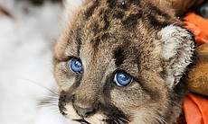 A young mountain lion cub (Puma concolor) is fi...