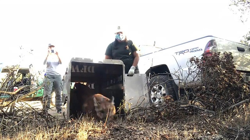 A juvenile mountain lion is being released in the Santa Ana Mountains in Oran...