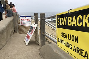 Photo for San Diego Moves To Protect Sea Lions At La Jolla Point