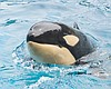 Amaya, a female orca, sticks her head out of th...
