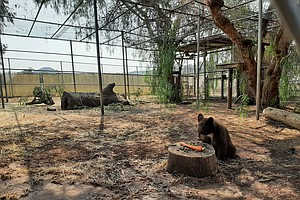 Photo for Orphaned Bear Cubs Brought To Ramona Wildlife Center