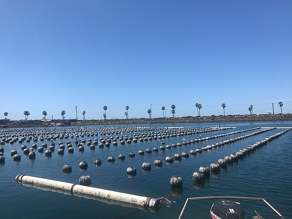 San Diego's Climate Crisis: Oyster Hatchery Challenged By Warming Ocean And More Local News (San Diego News Matters) | KPBS