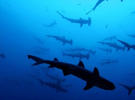 Fishing Takes Toll on Shark Populations