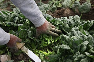 Key To E. Coli-Free Spinach May Be An Ultrasonic Spa Treatment