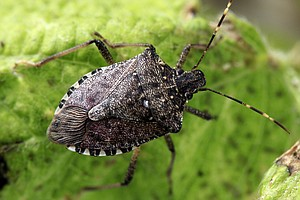 Stink Bug's Resurfacing May Squash Farmers' Hopes For A S...