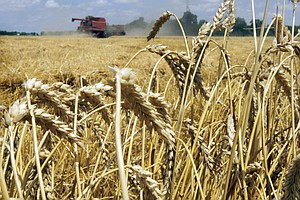 GMO Wheat Found In Oregon Field. How'd It Get There?