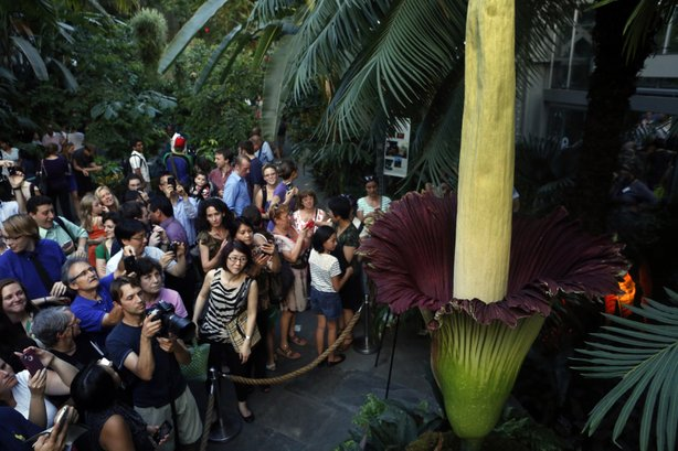 A crowd surrounds a corpse flower, a giant rainforest plant known for its awful smell, at the U.S. Botanic Garden on Aug. 22.