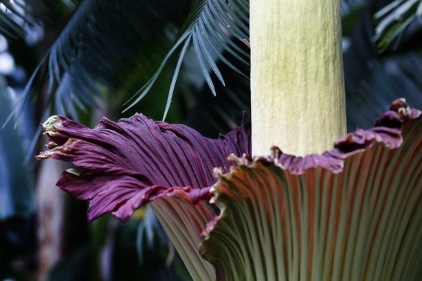 The color of the corpse flower is meant to mimic the color of rotting flesh and raw meat.