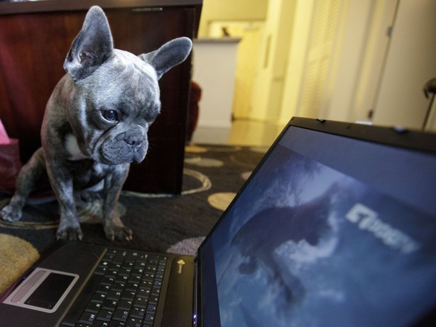 Bleu, a French bulldog who lives in San Diego, watching DogTV in April 2012 during the network's initial months online and on cable outlets in southern California.