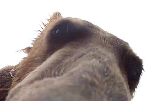 VIDEO: Look Inside A Grizzly Bear's Mouth