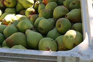 Labor-Starved Pear Farmers Buckle Under Bumper Crop