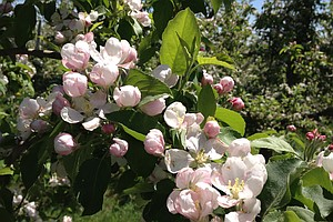 Michigan Apple Orchards Blossom After A Devastating Year