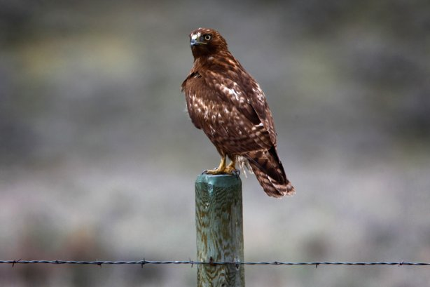A juvenile red-tailed hawk perches above a barbed wire fence. Humans, fences and birds of prey threaten sage grouse survival.